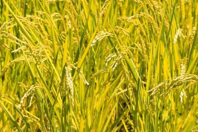 米寿とにお米に関するプレゼント