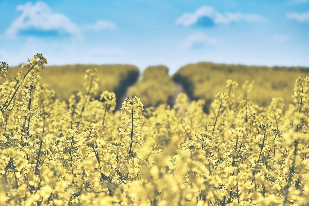 黄色い菜の花畑
