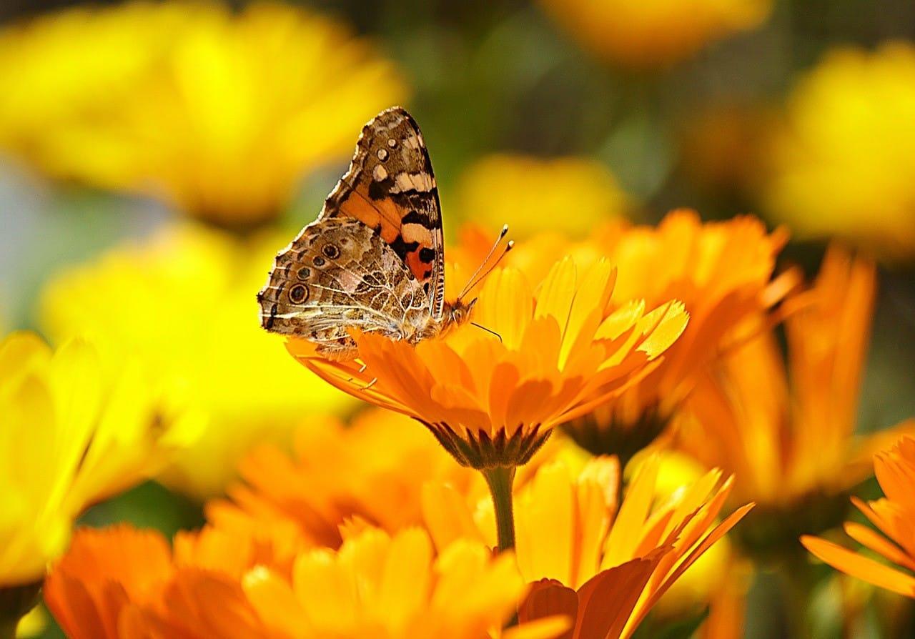 黄色い花の咲く花畑と蝶