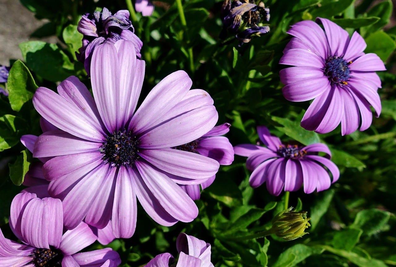 紫のガーベラ