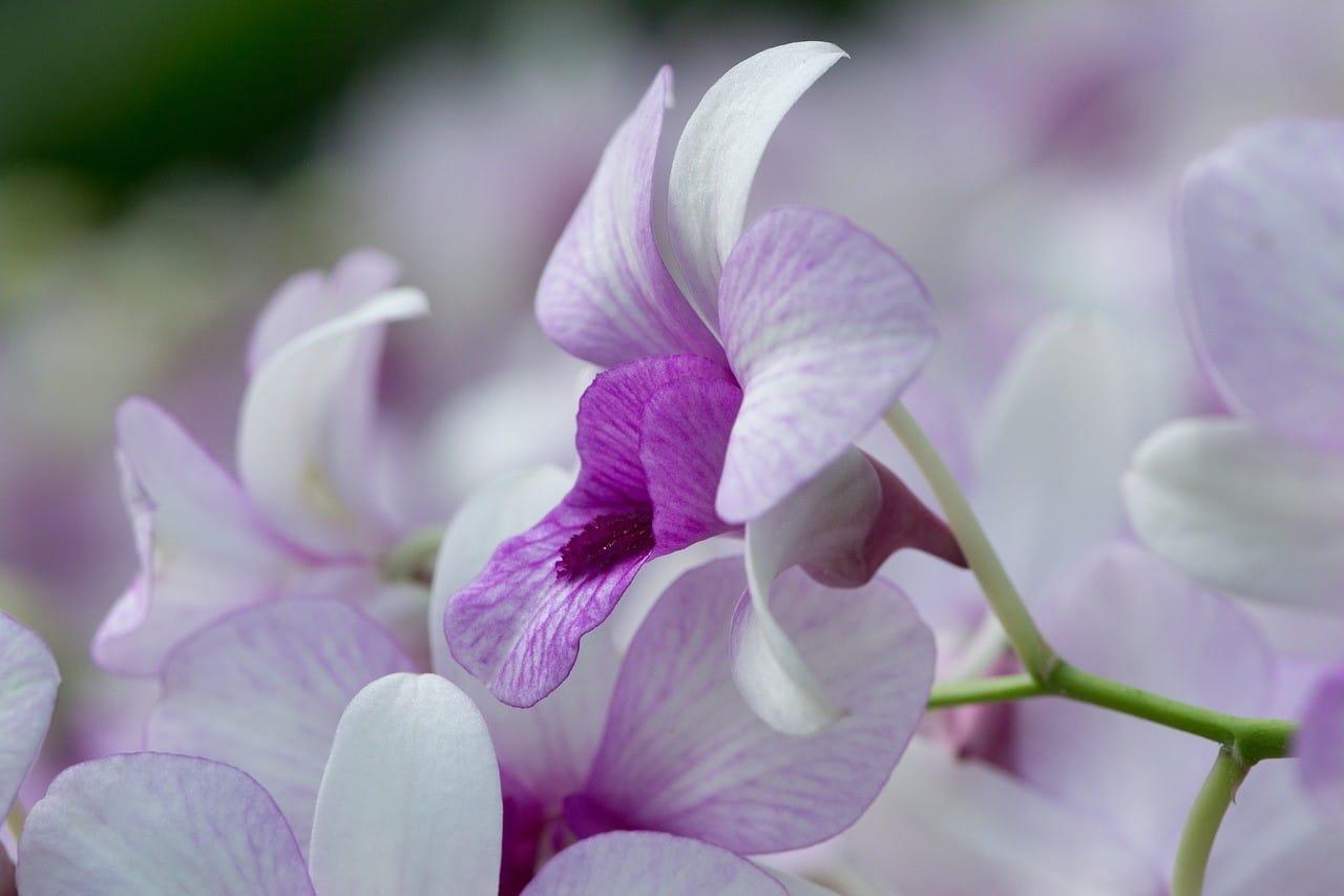 薄紫色の胡蝶蘭