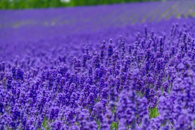 古希の色は紫