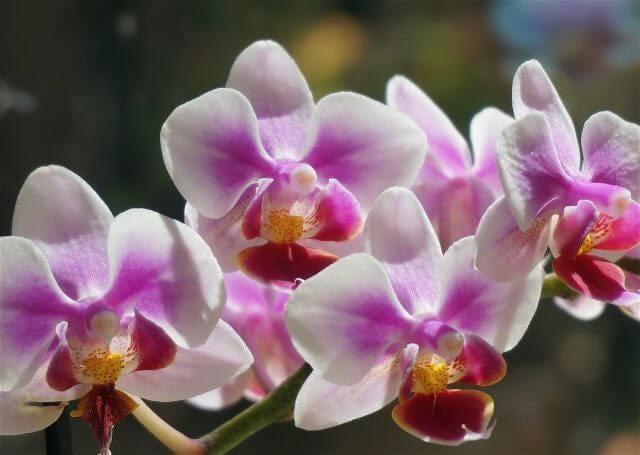 薄紫の胡蝶蘭