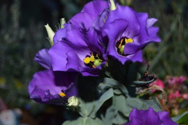 青紫のトルコキキョウ