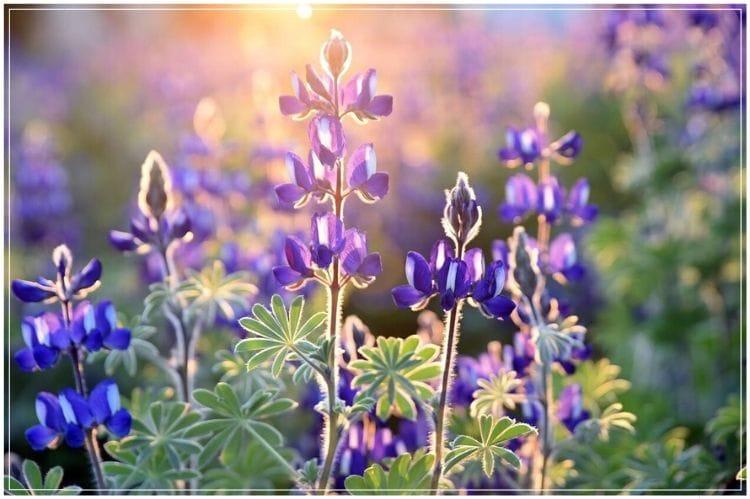 紫色の花が夕日に照らされている