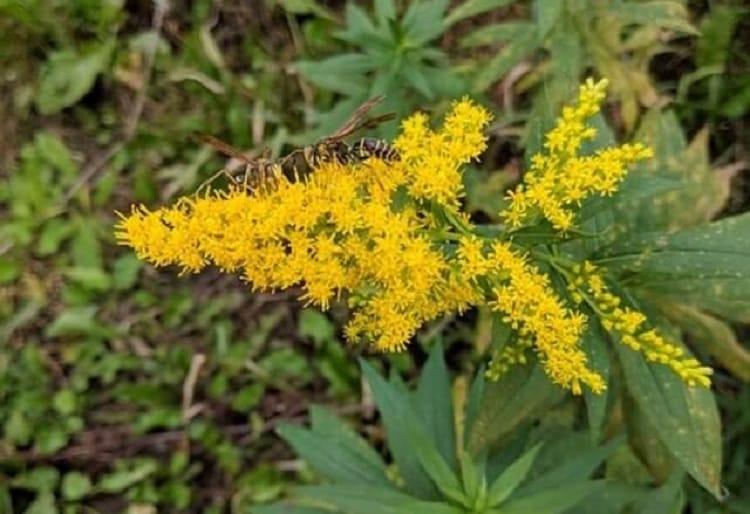 ブタクサの花粉