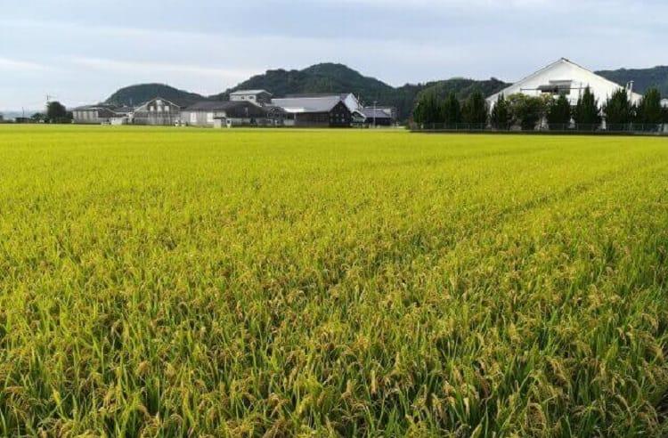 広い田んぼがある風景