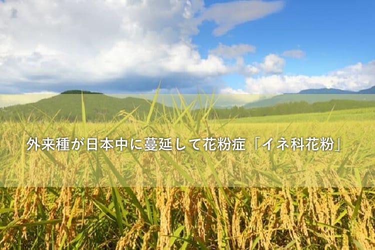 田んぼの稲穂